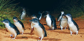Penguin Parade Tour